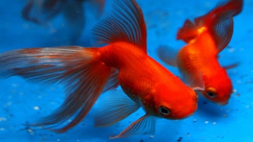 How Long Do Goldfish Live?