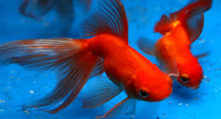 long-goldfish-live