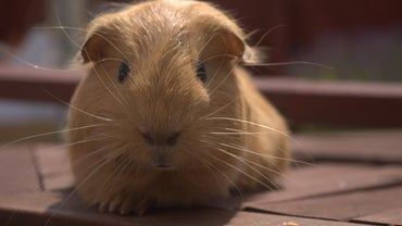 How Long Does a Guinea Pig Live?