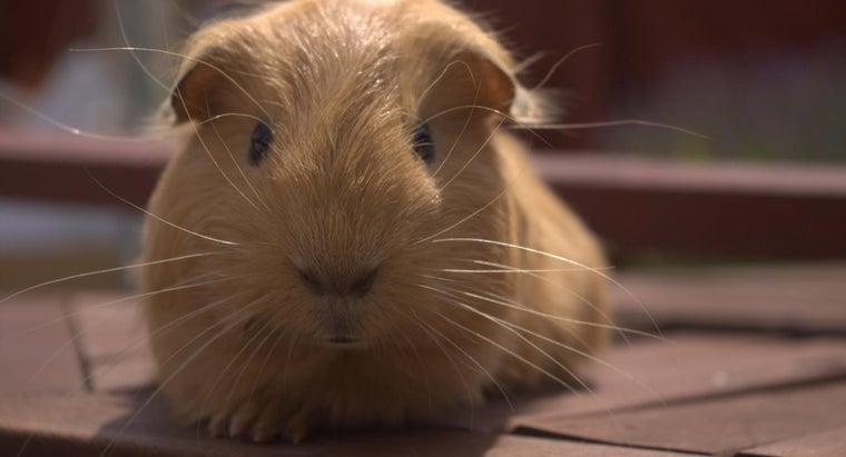 long-guinea-pig-live
