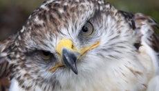 How Long Do Hawks Live?