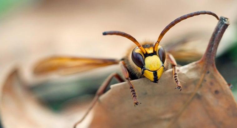 long-hornets-live