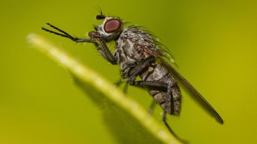 How Long Do House Flies Live?