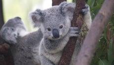 How Long Do Koalas Live?
