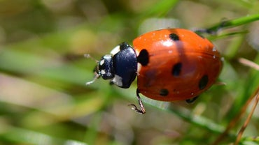 How Long Does a Ladybug Live?