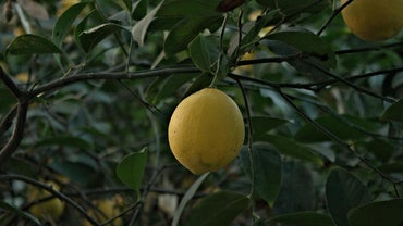 How Long Does It Take for a Lemon Tree to Grow and Bear Fruit?