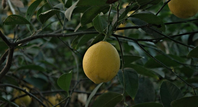 long-lemon-tree-grow-bear-fruit