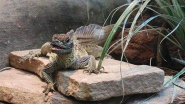 How Long Do Lizards Live?