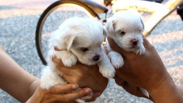 How Long Does It Take Maltese Puppies to Grow to Full Size?