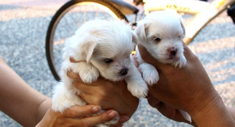 long-maltese-puppies-grow-full-size