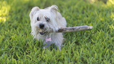 How Long Does It Take Morkie Puppies to Become Full Grown?