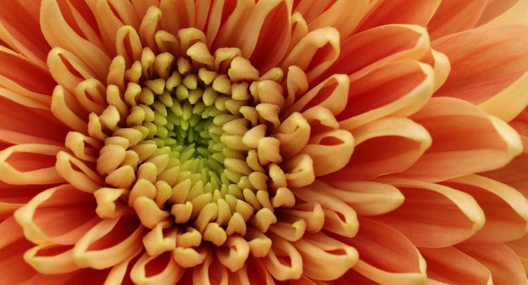 long-mums-bloom