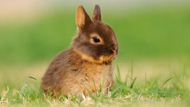 How Long Does a Netherland Dwarf Rabbit Live?