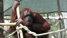 How Long Do Orangutans Live?
