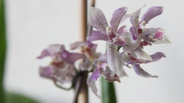 How Long Does It Take an Orchid to Grow From a Seed?