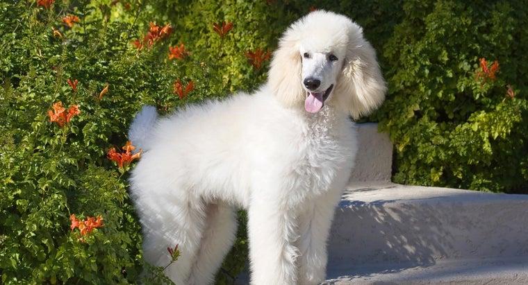 long-poodles-live