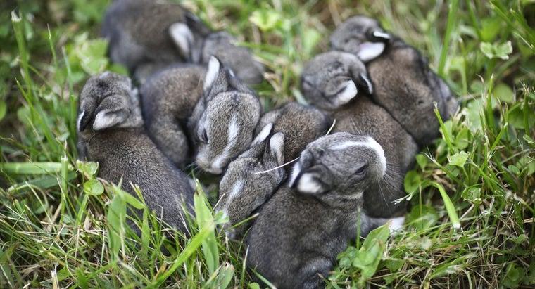 long-rabbit-s-pregnancy