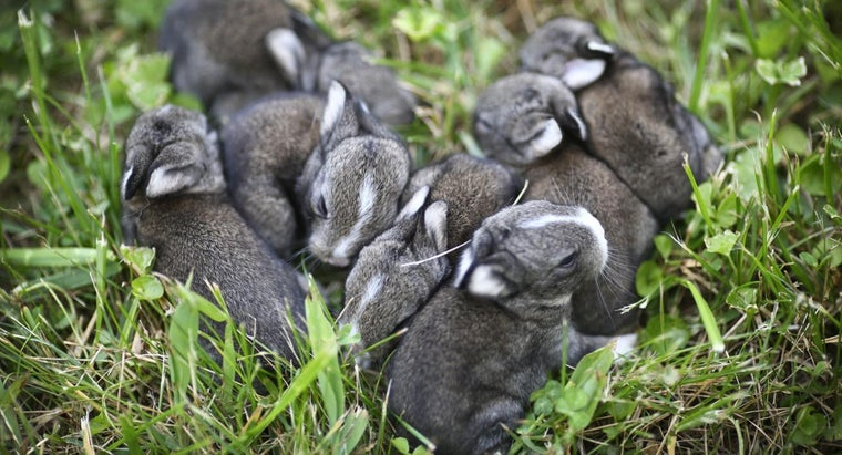 long-rabbits-stay-pregnant