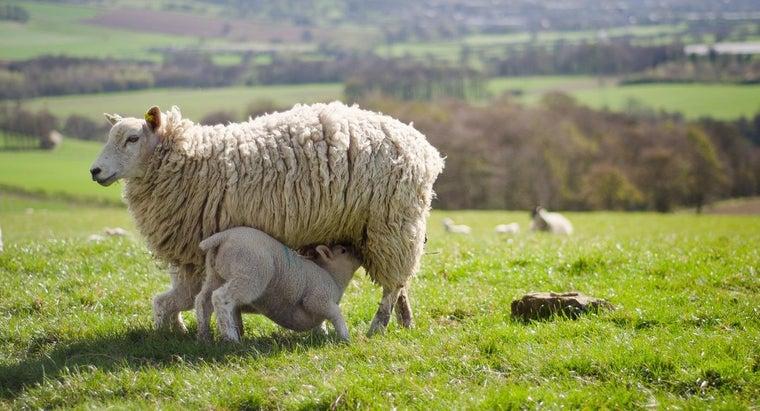 long-sheep-pregnant