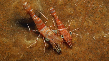 How Long Do Shrimp Live?
