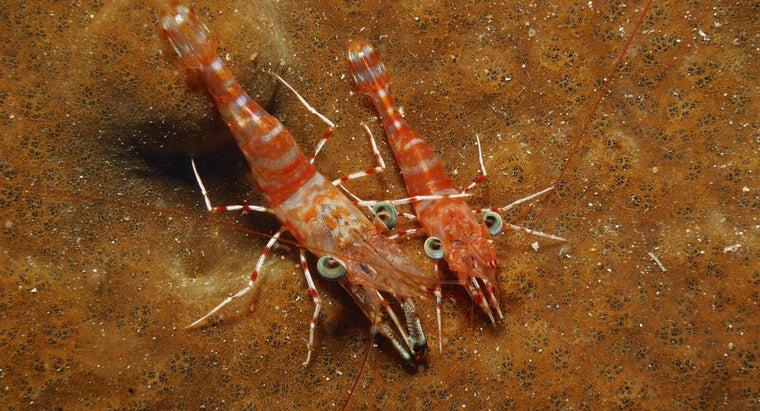 long-shrimp-live