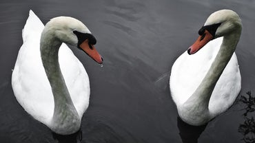 How Long Does a Swan Live?