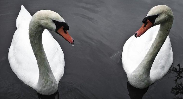 long-swan-live