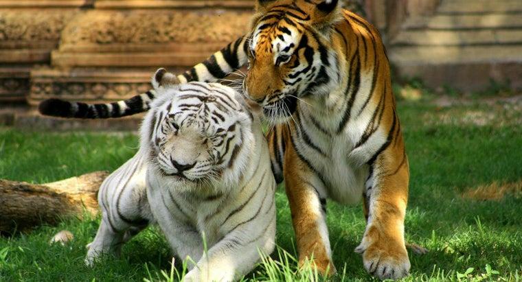 long-tigers-live