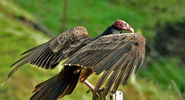 long-turkey-vulture-egg-hatch
