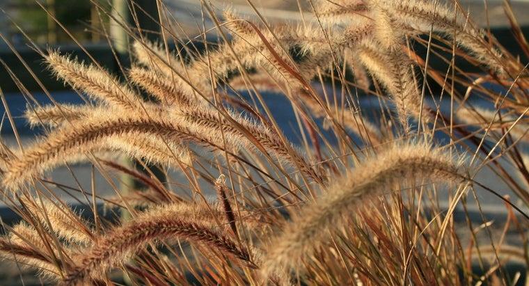 long-wheat-grow
