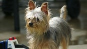 How Long Will a Female Yorkie Bleed While in Heat