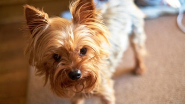 How Long Are Yorkshire Terriers in Heat?