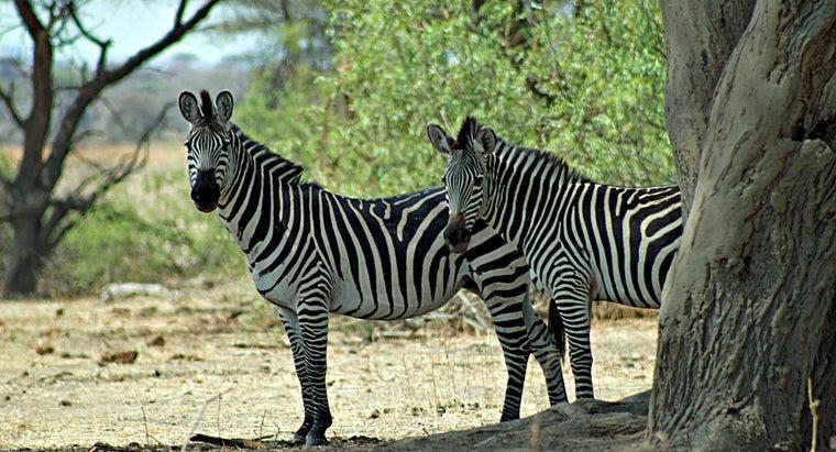 long-zebras-live