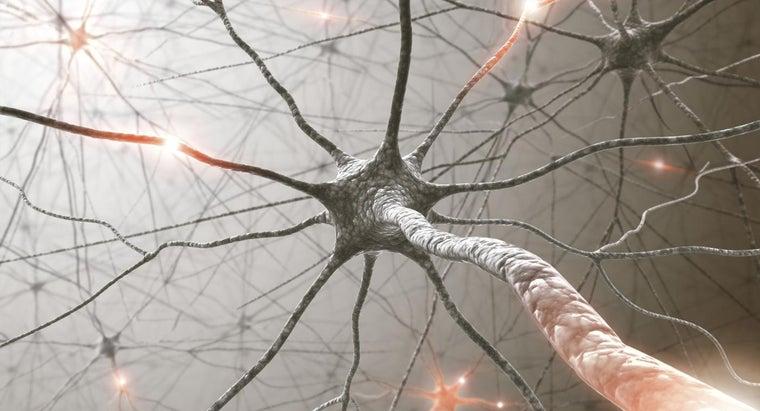 longest-cells-human-body