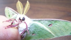 What Is a Luna Moth?