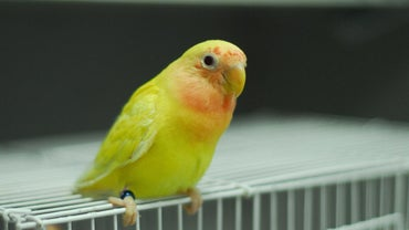 What Is a Lutino Lovebird?