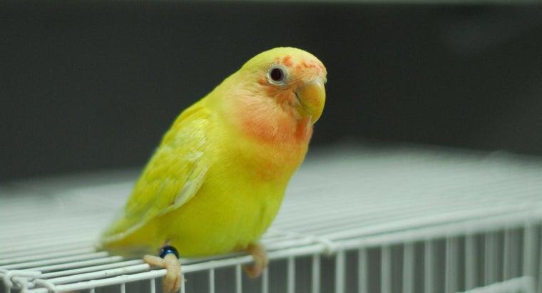 lutino-lovebird