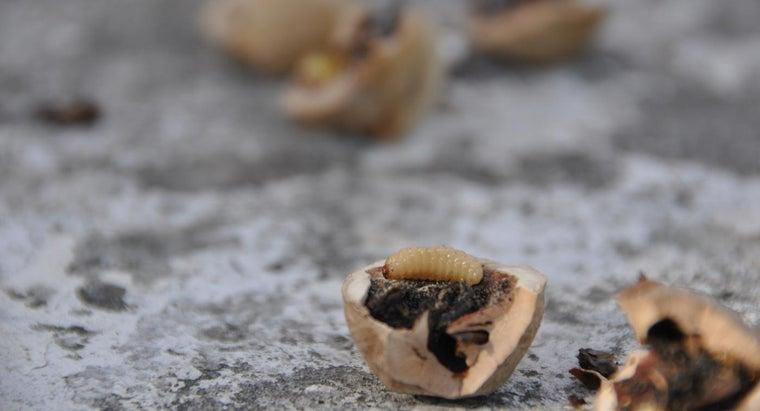 maggots-look-like