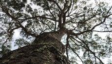 Where Do Mahogany Trees Grow?