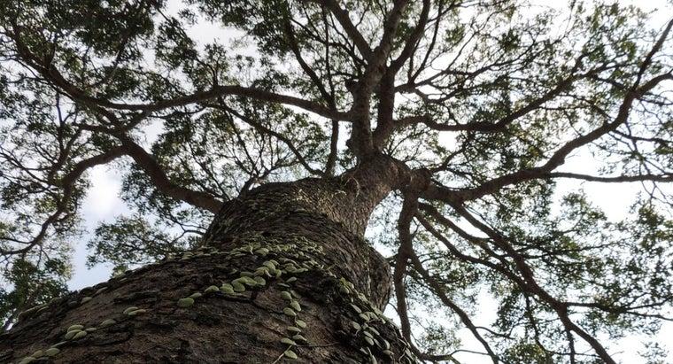 mahogany-trees-grow