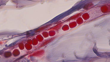 What Is the Main Function of Capillaries?