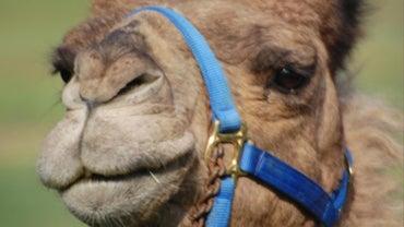 How Do I Make a Camel Costume?