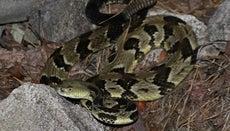 How Do You Make a Habitat for a Rattlesnake?