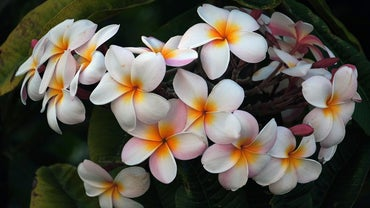 How Do You Make a Plumeria Plant Flower?