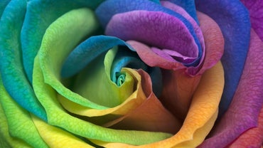 How Do You Make a Rainbow Rose?