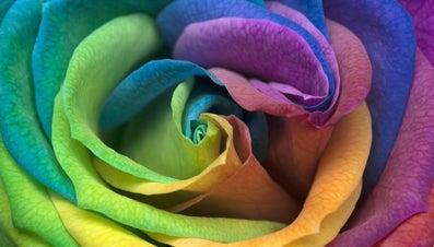 How Do You Make a Rainbow Rose?