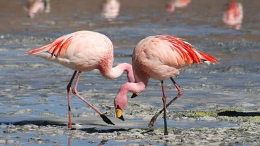 What Is a Male Flamingo Called?
