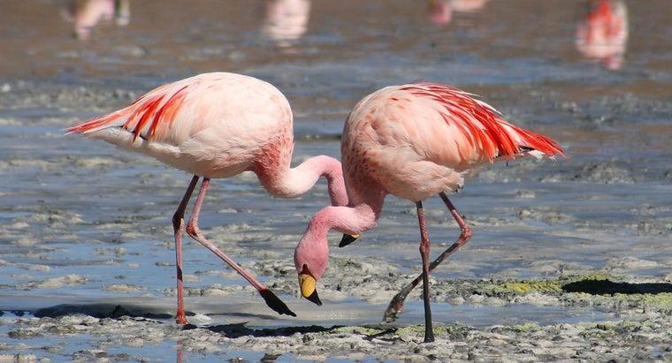 male-flamingo-called