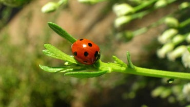 What Is a Male Ladybug Called?