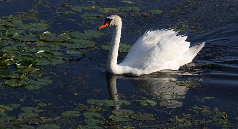 male-swan-called